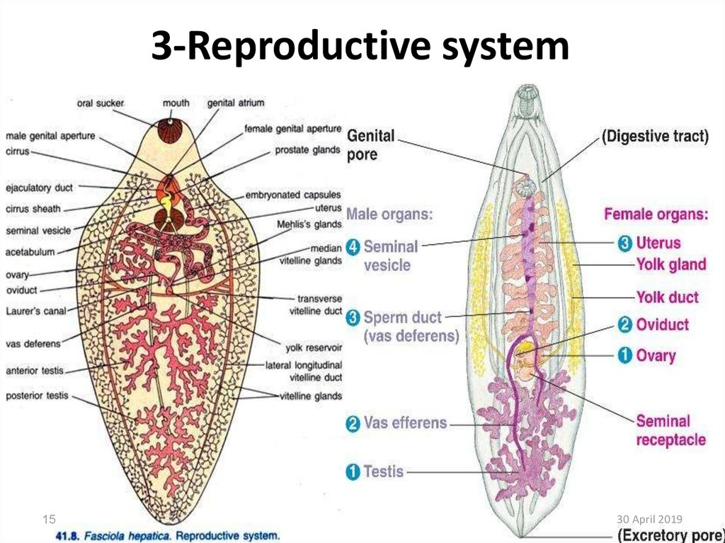 3-Reproductive system
