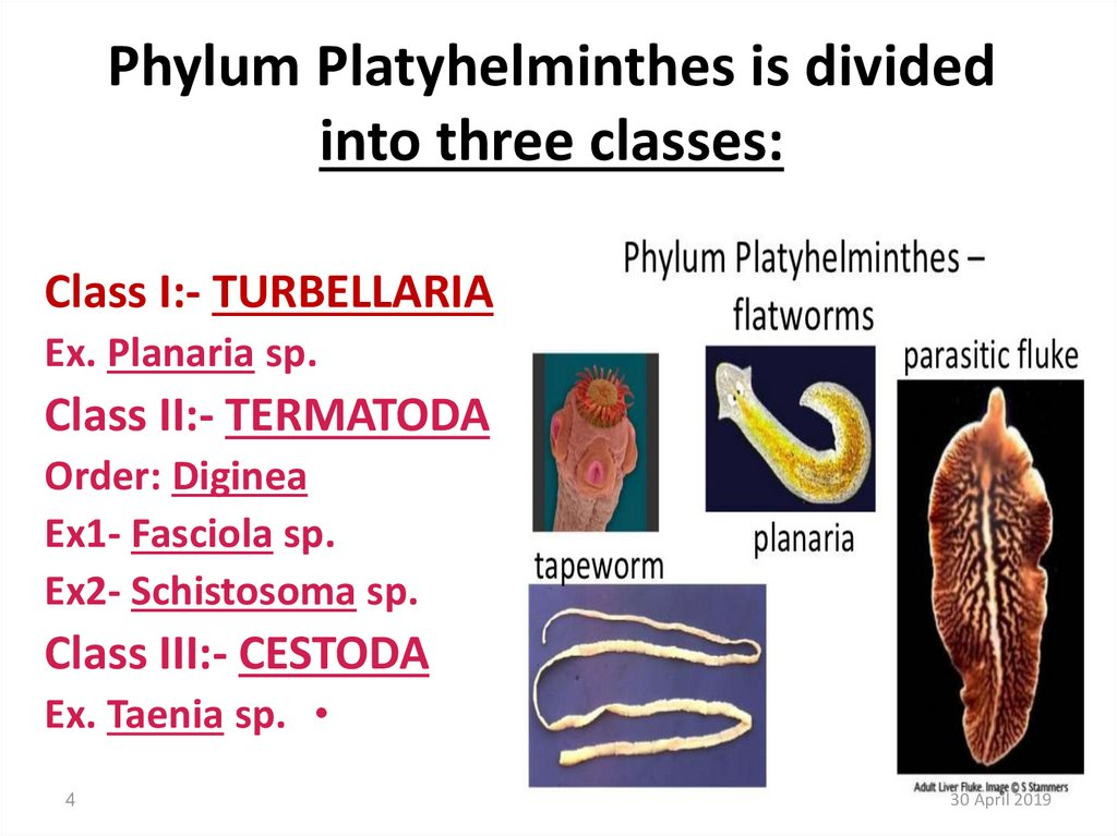 Phylum Platyhelminthes is divided into three classes: