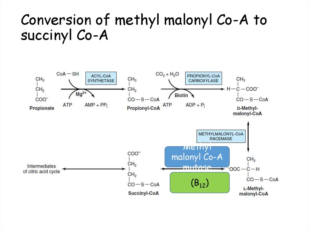 Conversion of methyl malonyl Co-A to succinyl Co-A
