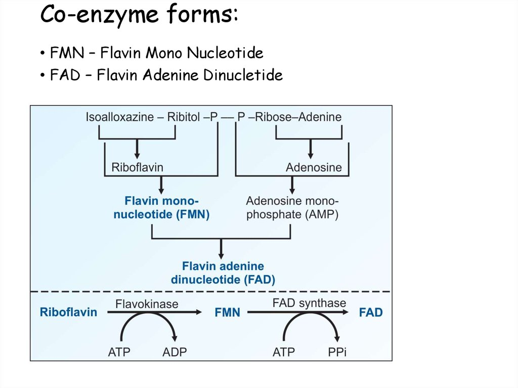 Co-enzyme forms: