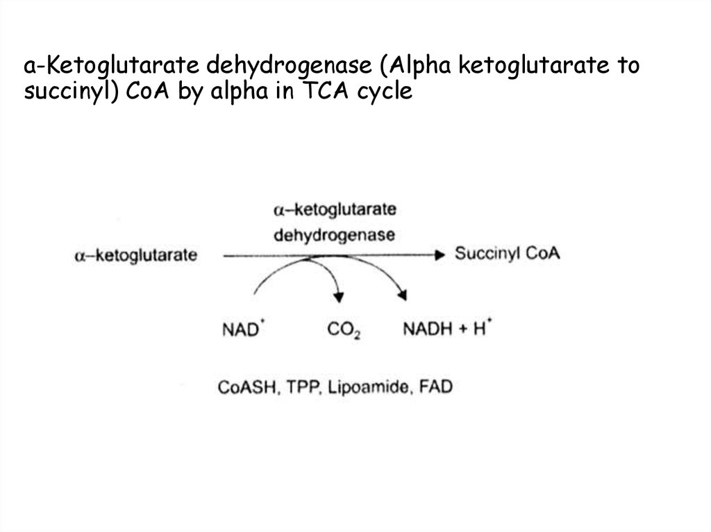 a-Ketoglutarate dehydrogenase (Alpha ketoglutarate to succinyl) CoA by alpha in TCA cycle