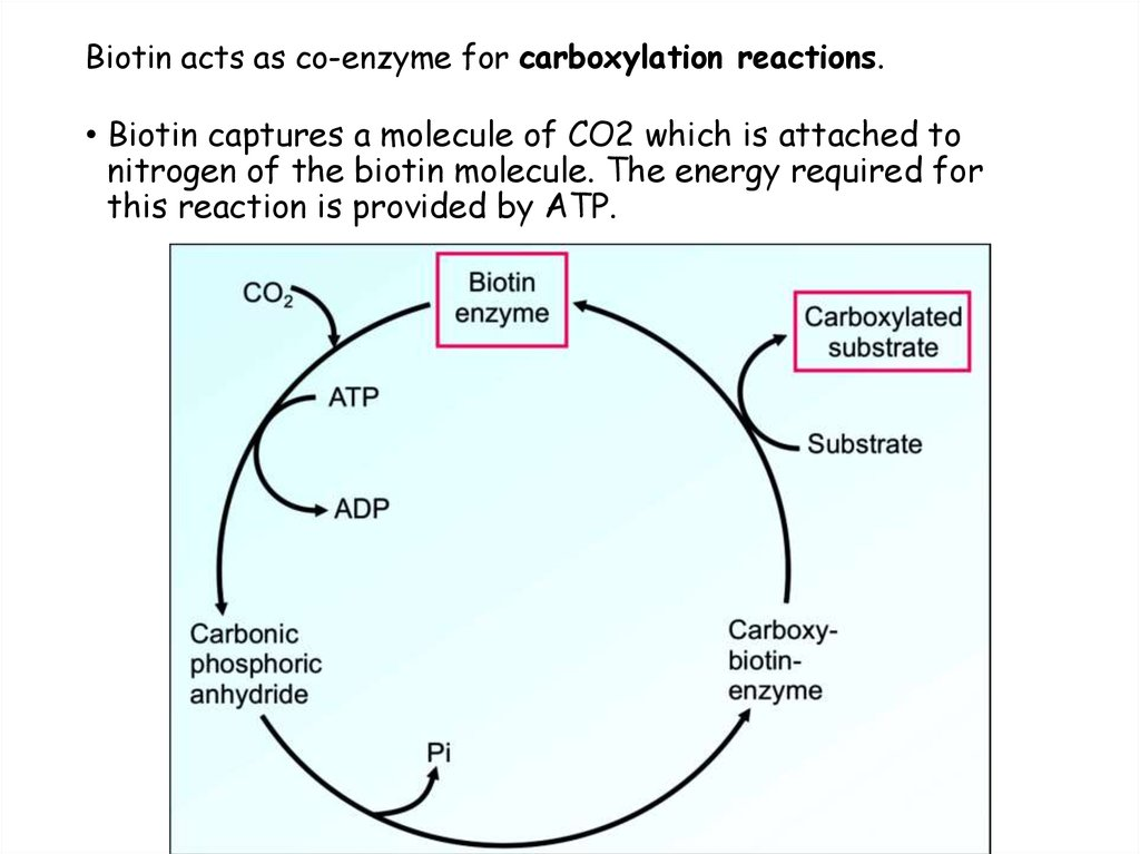 Biotin acts as co-enzyme for carboxylation reactions.