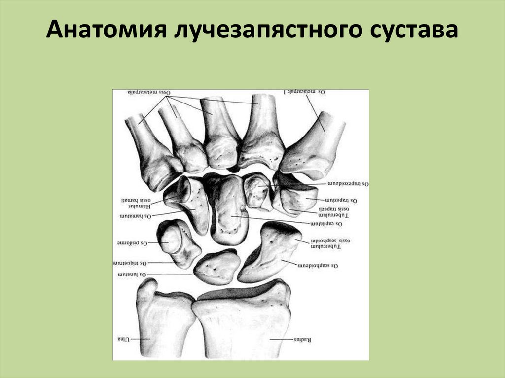 Анатомия лучезапястного сустава человека картинки