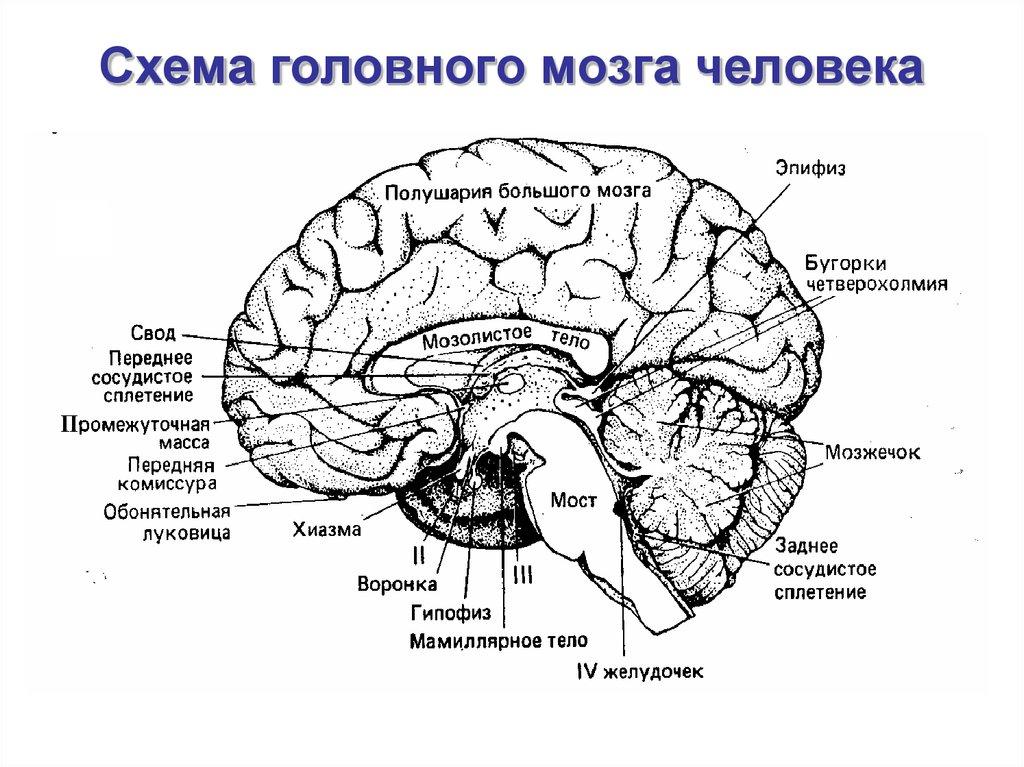 высокие серебристые картинки головного мозга с отделами раздеваются нижнего белья