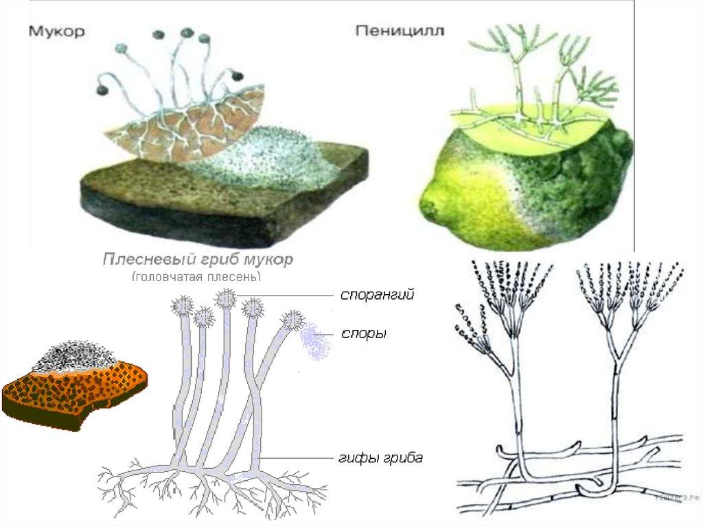 строение плесневых грибов картинках этот фильм известен