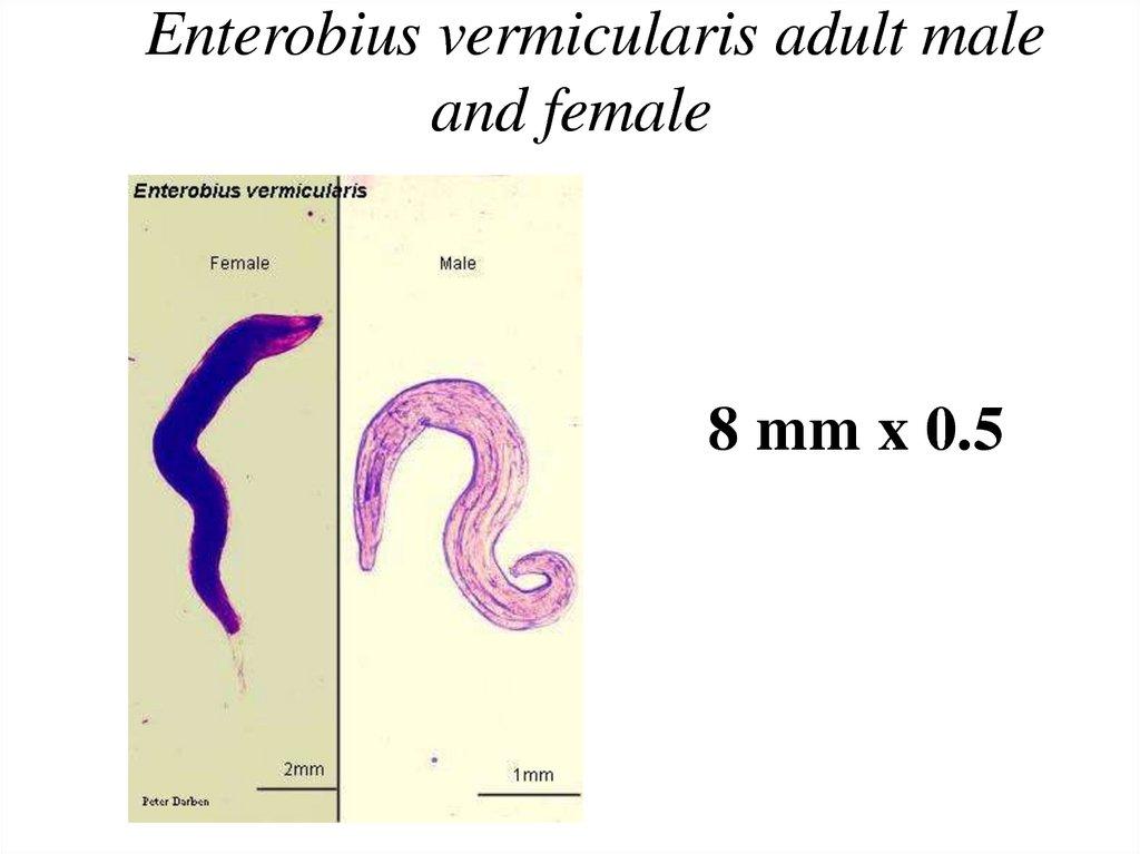 enterobius vermicularis female and male)
