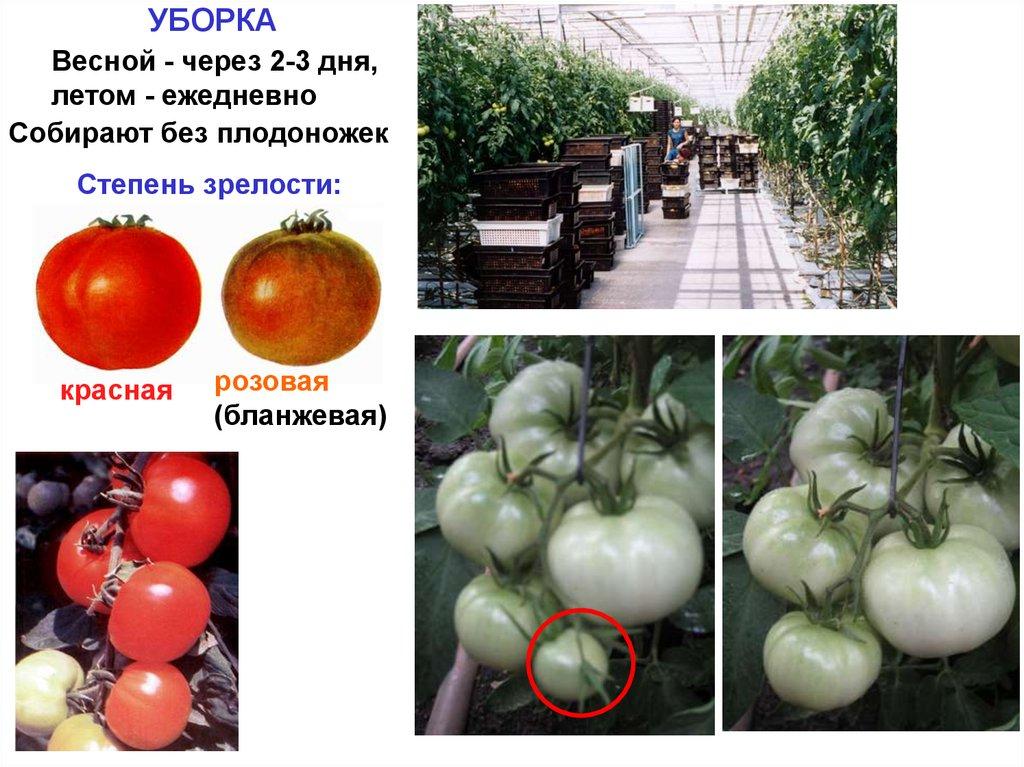 Транспортер томатов крупнейшие производители конвейерного оборудования