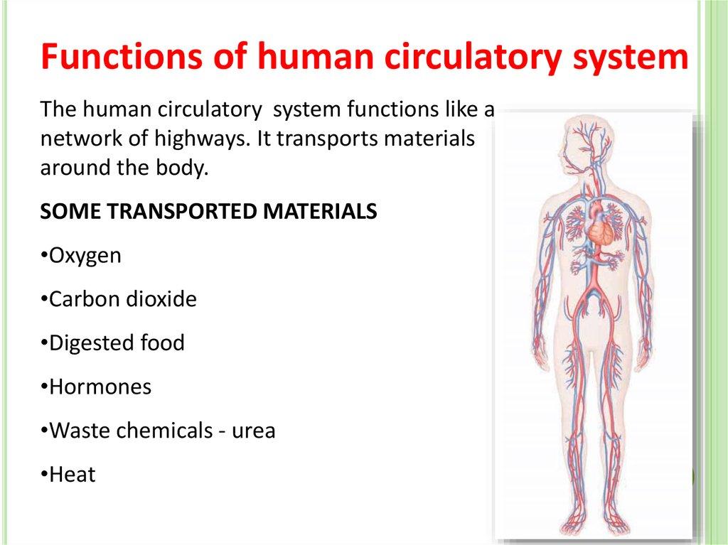 Human circulatory system - презентация онлайн