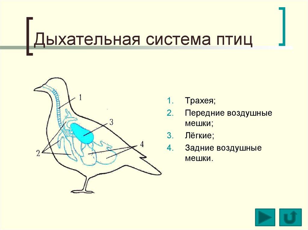 Схема строения органов дыхания птиц
