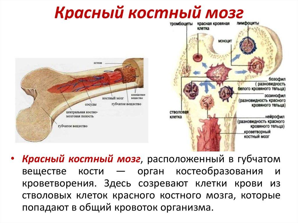 конечно, костный мозг расположение картинка пластичность природного