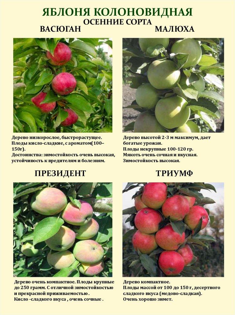 панель сорта колонн яблок описание и фото изготовил только