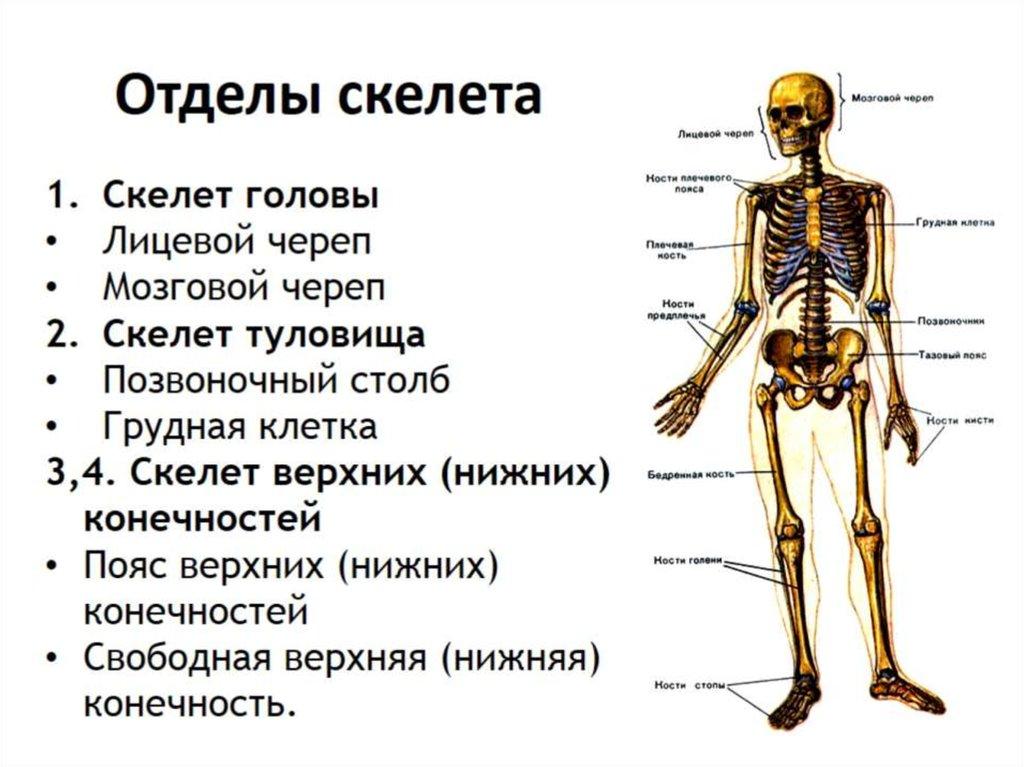 скелет и его отделы в картинках