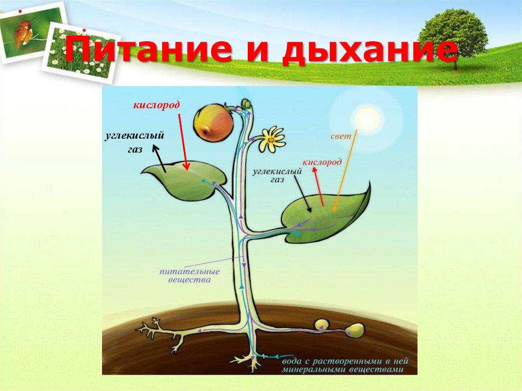 своим чем и как питаются растения картинки начал