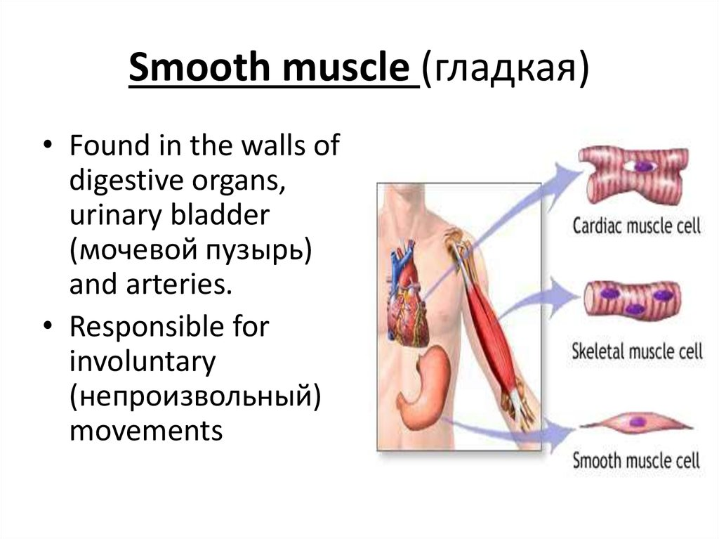 Smooth muscle (гладкая)