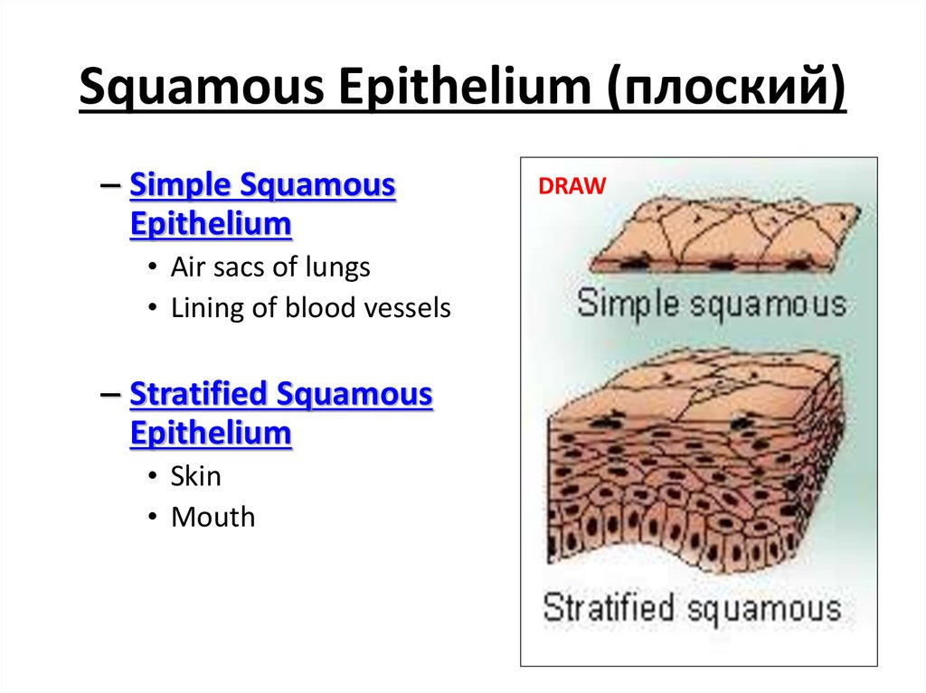 Squamous Epithelium (плоский)