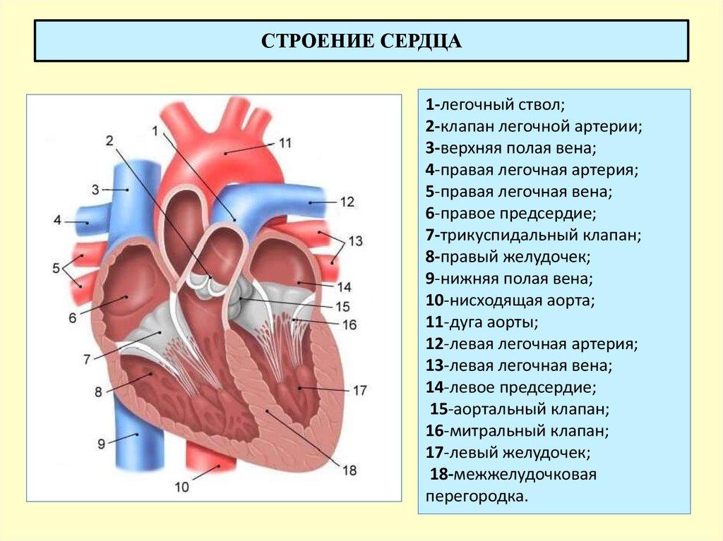 Подробная картинка сердца