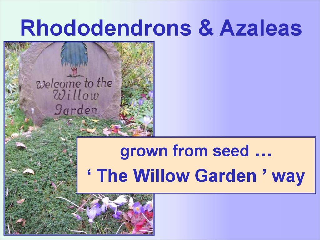 Rhododendrons Azaleas Grown From Seed The Willow Garden Way Online Presentation
