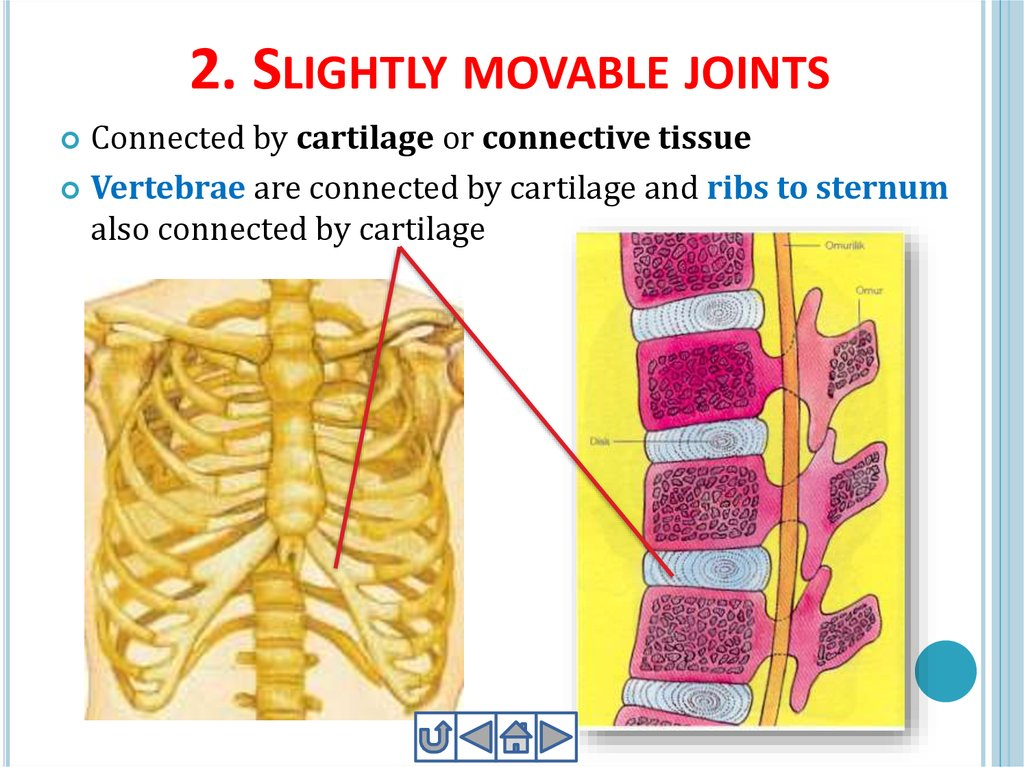 2. Slightly movable joints
