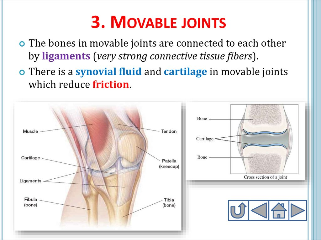 3. Movable joints