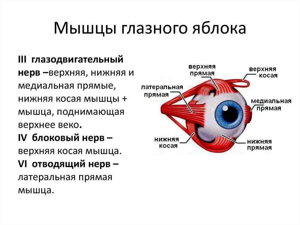 отбелил картинки для мышц глаз убыточного бутурлиновский