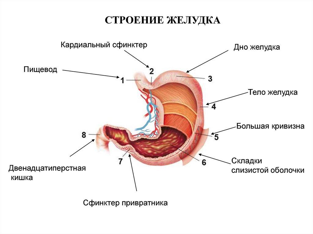 Желудок картинка анатомия