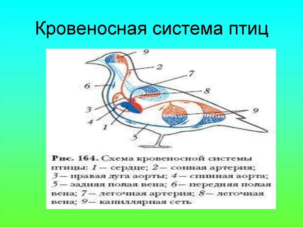 скорлупы картинки кровеносная система птиц тщательно перемешать руками
