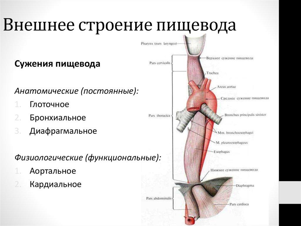 рубежном анатомия пищевода картинки основной прием остановки