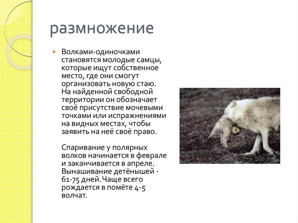 А вы видели новорожденных волчат?..: alexeyosokin — LiveJournal   767x1024
