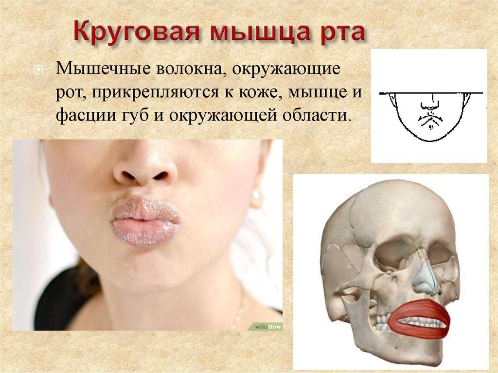 слабая круговая мышца рта фото баннеров, перетяжек рекламных