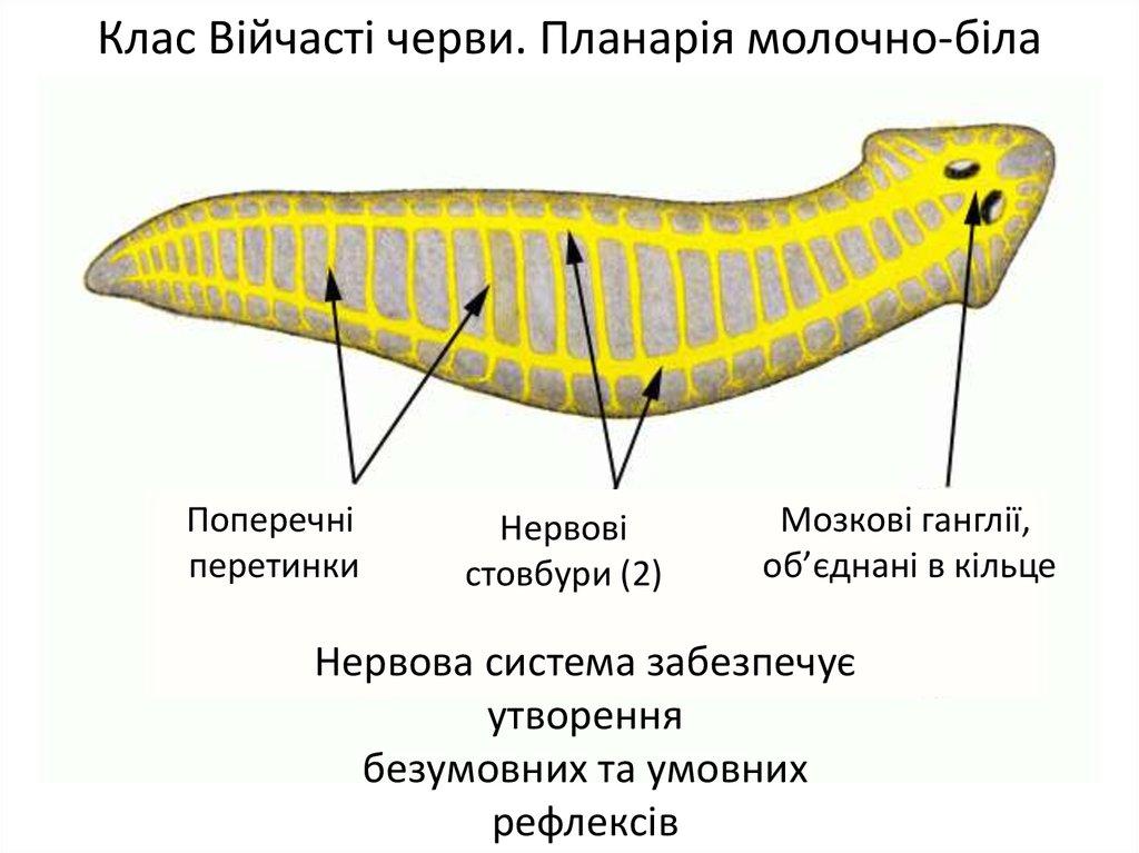 Тип Плоскі черви. Клас Війчасті черви - презентация онлайн