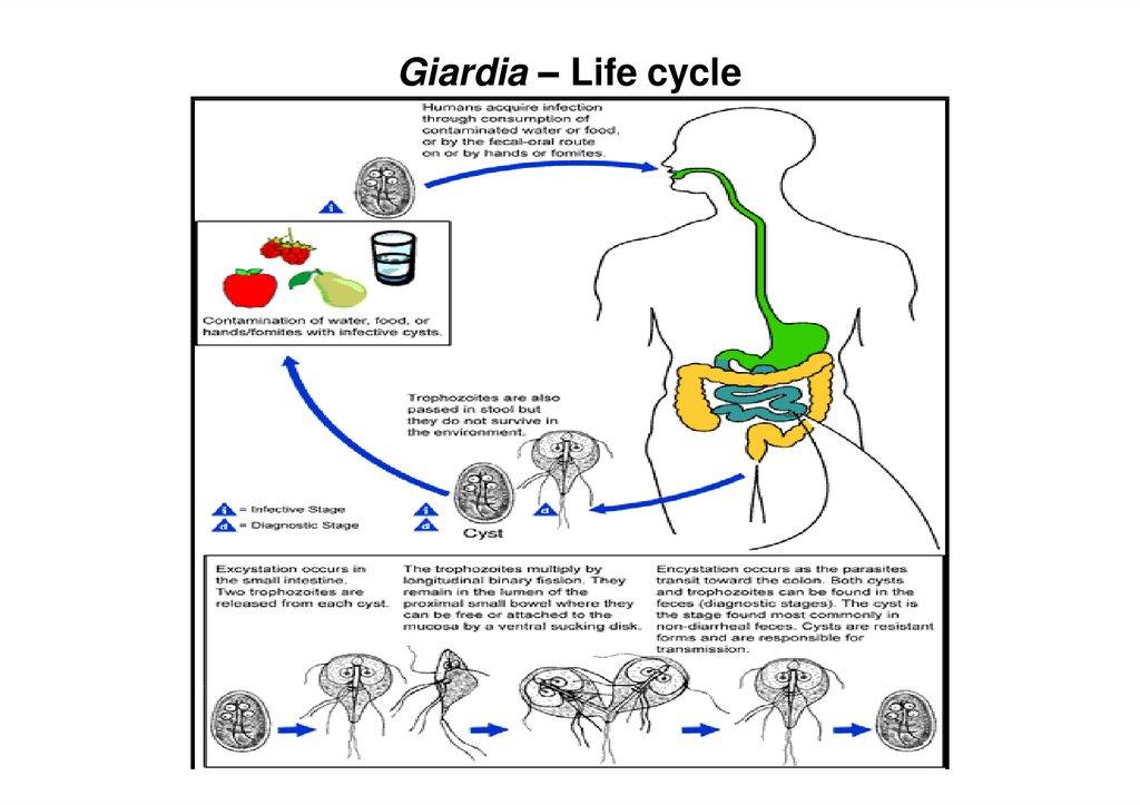 Giardiasis Giardia lamblia Giardia intestinalis - online ...