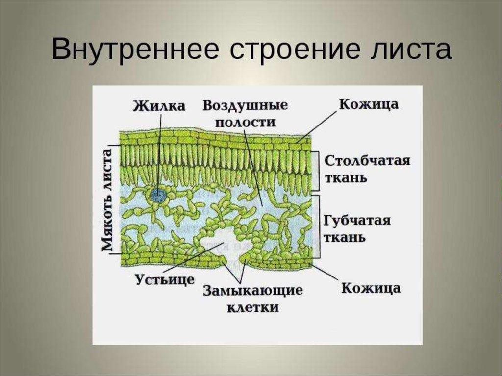 Картинки строение листа растений