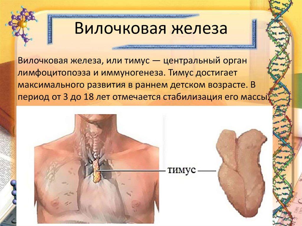 собираетесь где находится тимус в человеческом теле фото отметить, что поклонники