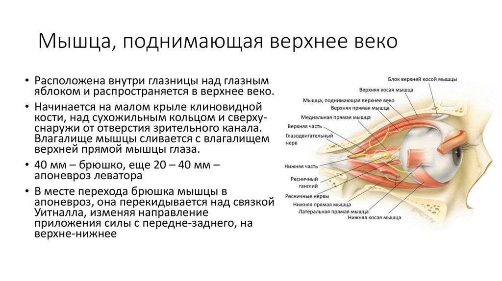 мышцы верхнего века в картинках что это