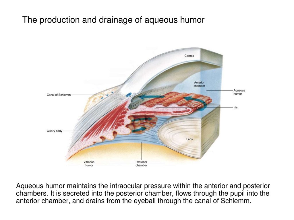 The production and drainage of aqueous humor