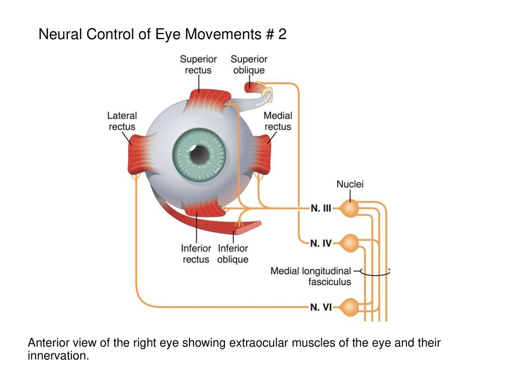 Neural Control of Eye Movements # 2
