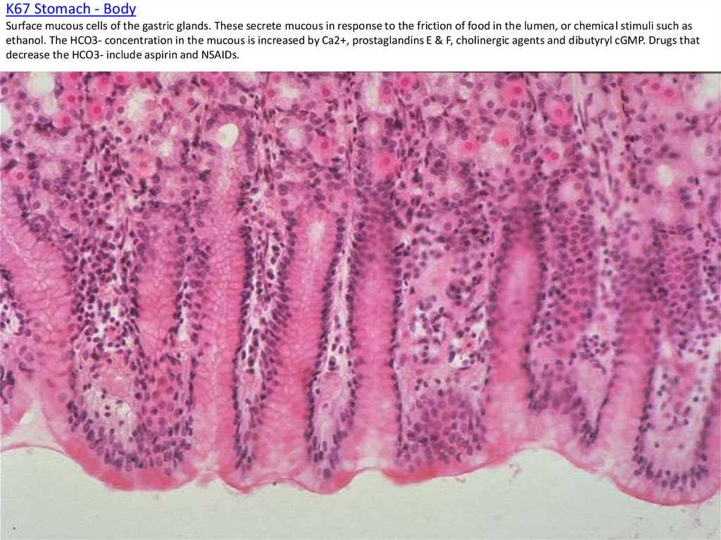 K67 Stomach - Body Surface mucous cells of the gastric glands. These secrete mucous in response to the friction of food in the