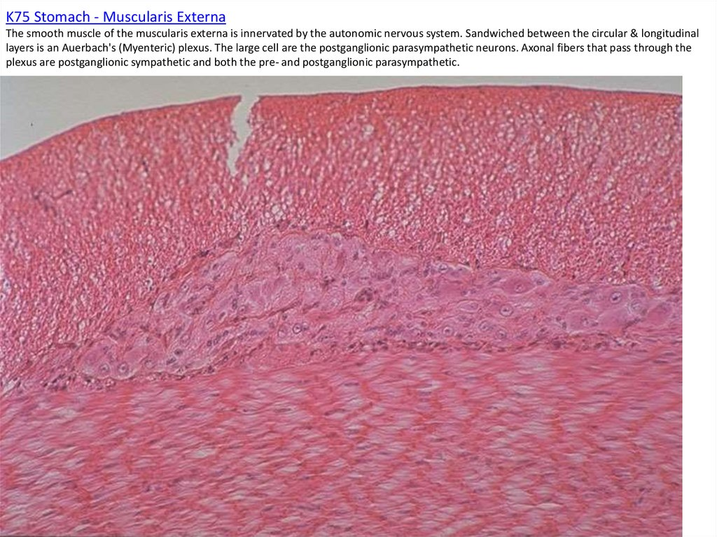 K75 Stomach - Muscularis Externa The smooth muscle of the muscularis externa is innervated by the autonomic nervous system.