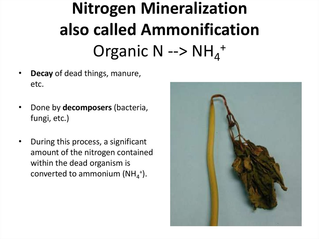 Nitrogen Mineralization also called Ammonification Organic N --> NH4+