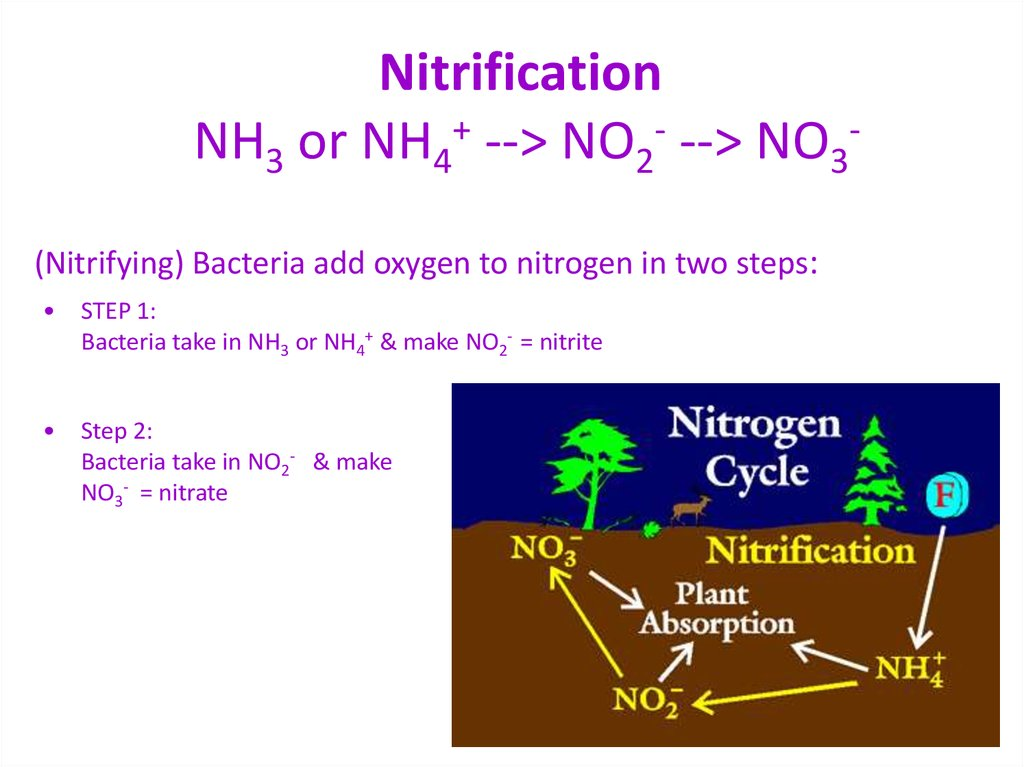 Nitrification NH3 or NH4+ --> NO2- --> NO3-