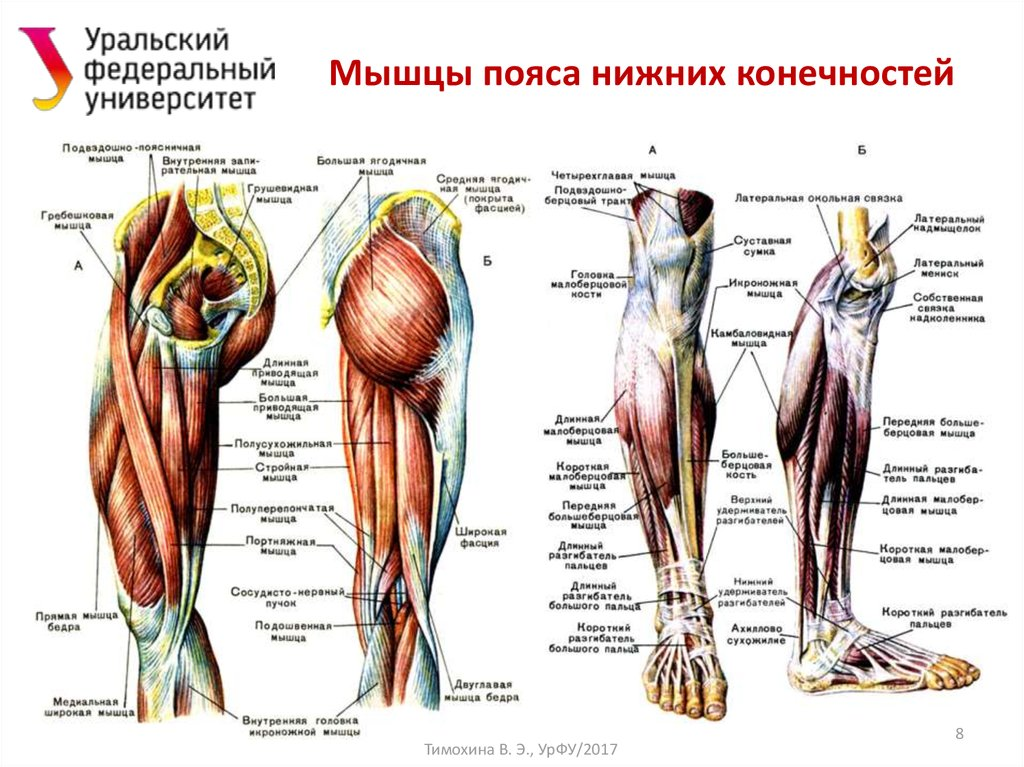 расположение мышц на ногах человека схема вывел эту толстуху