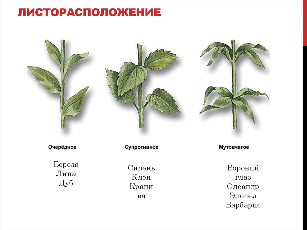 листорасположение у растений в картинках фото слева представлен