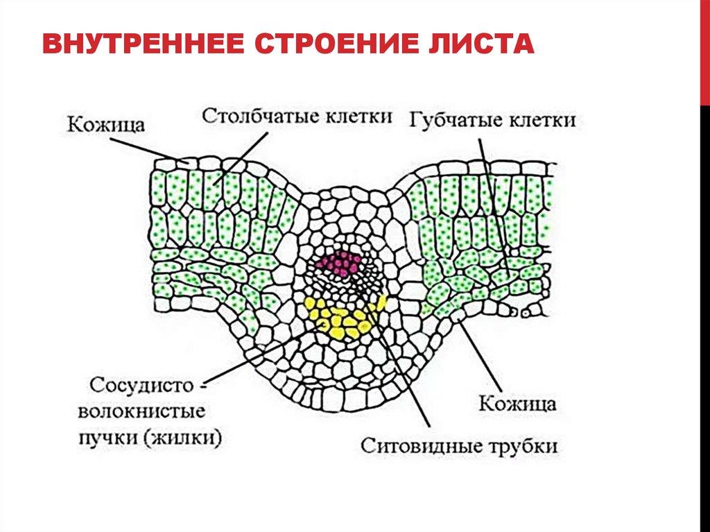 Картинка внутреннего строения листа