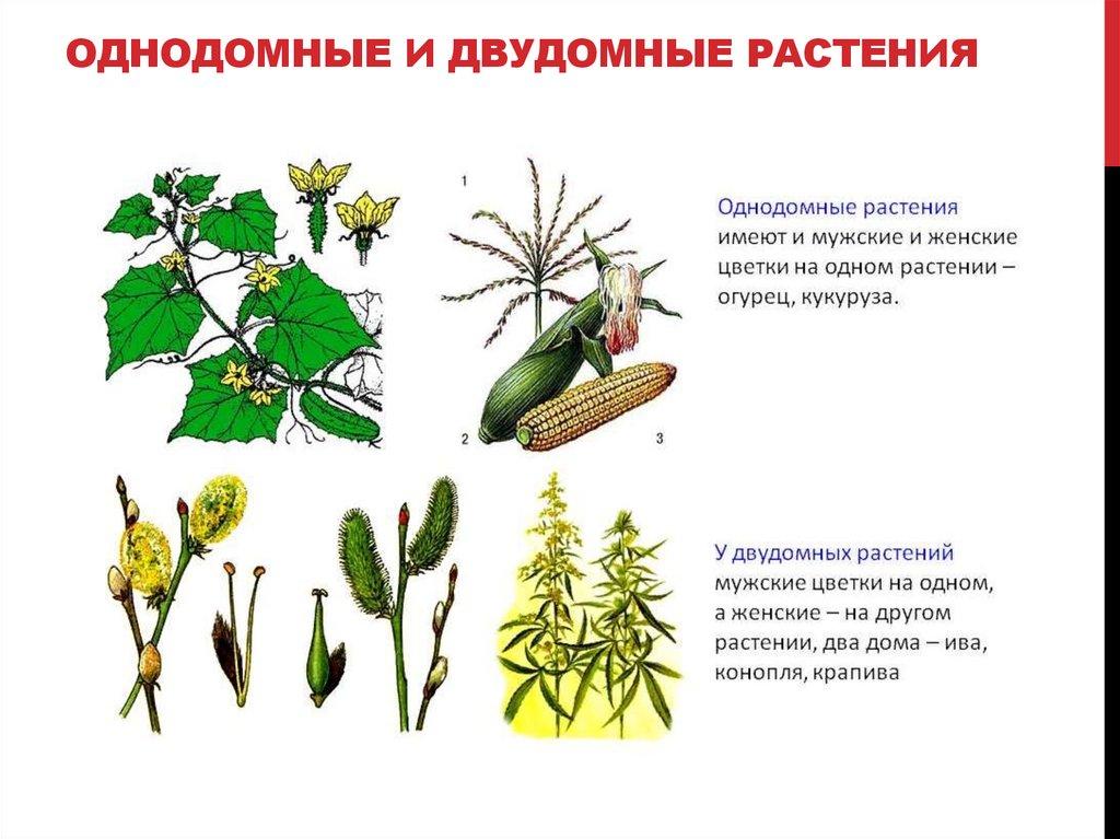 Двудомные растения названия