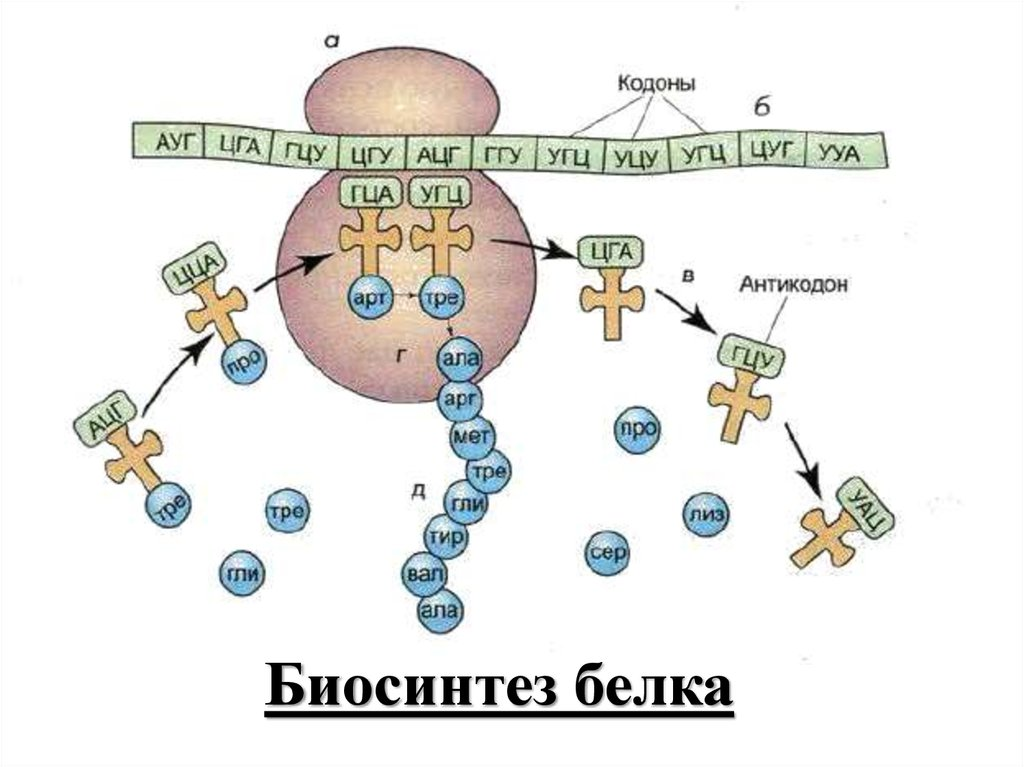 Картинки синтеза белка