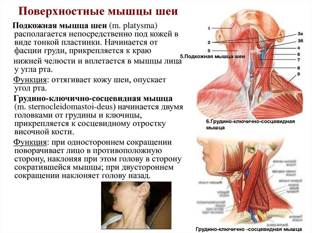 следствие мышцы шеи фото с описанием и схемами поздравить свою вторую
