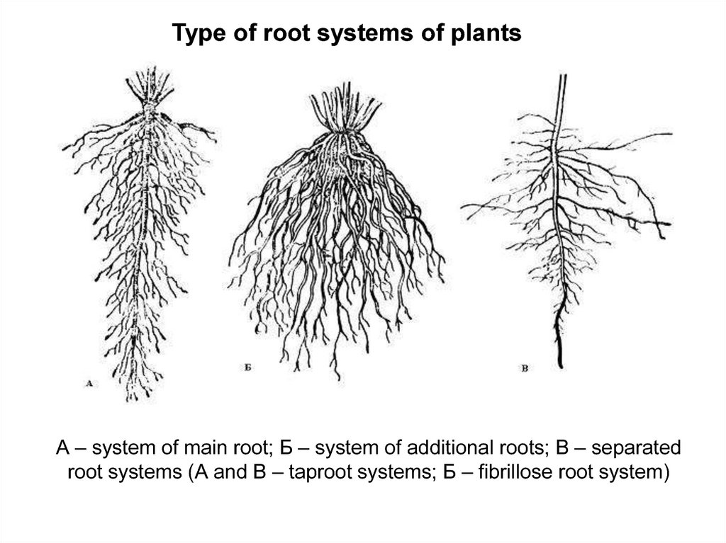 root and root systems  metamorphosis of roots  anatomical