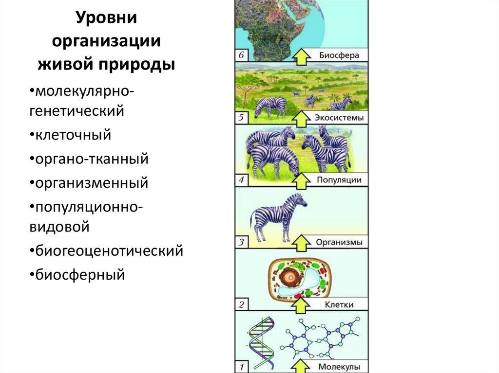 Уровни организации живой материи картинках