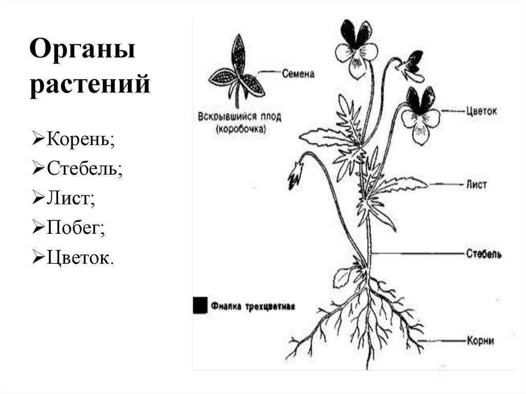 Схема строения цветкового растения без подписи органов
