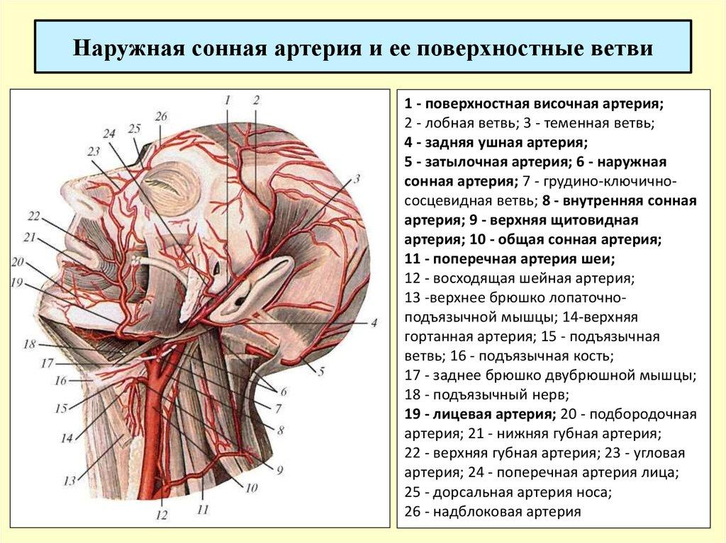 картинки общая сонная артерия звездного сына так